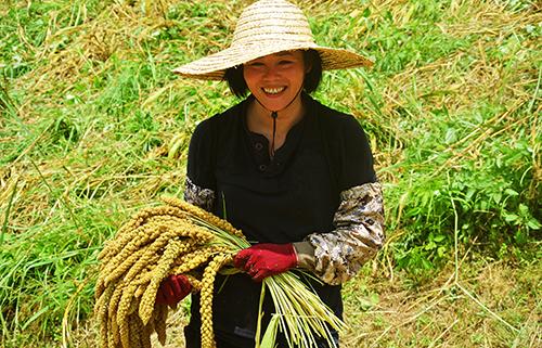 部落媽媽們在陽光最充沛的7、8月用雙手採收堅實飽滿的米穗。(圖/不老部落網誌http://blog.yam.com/bulaubulau/)